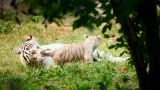 White tigress and cub Footage