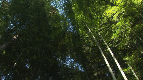 Bamboo thickets Stock Video Footage