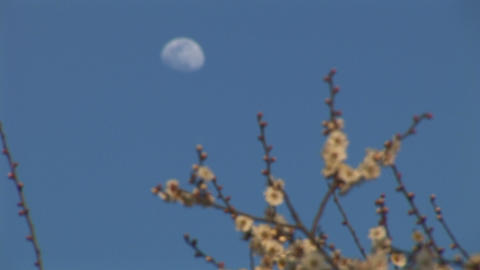 Japanese ume blossoms (Plum blossoms) and moon Stock Video Footage