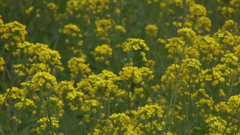Rape blossoms field Stock Video Footage