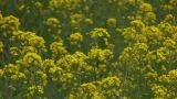 Rape blossoms field Footage
