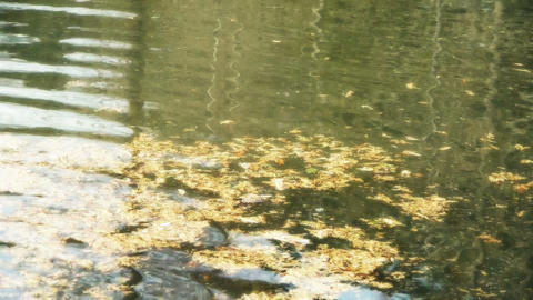 metasequoia leaves floating on Sparkling lake,powder,debris Stock Video Footage