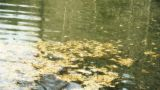 metasequoia leaves floating on Sparkling lake,powder,debris Footage