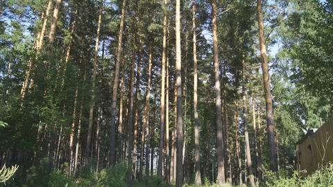Pine Forest (panning up) Stock Video Footage