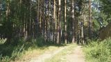 Pine Forest (panning Up) stock footage