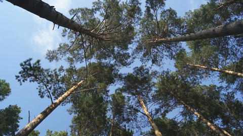 Pine forest. A look at the tops of the trees (02) Stock Video Footage