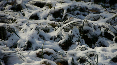 Snow covered grass,swaying in wind Footage