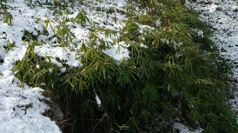 Snow covered Bamboo,swaying in wind Stock Video Footage