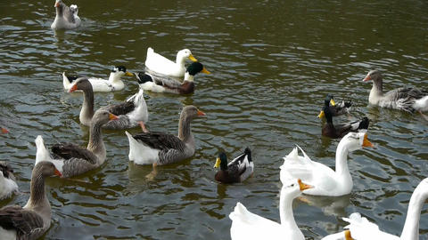 Ducks geese and swans swimming on water,lake Footage