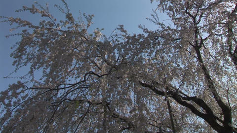 Cherry tree Stock Video Footage