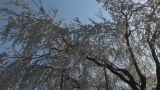 Cherry tree Footage