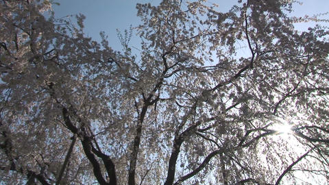 Cherry tree Stock Video Footage