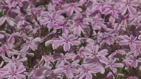 Moss phlox Stock Video Footage