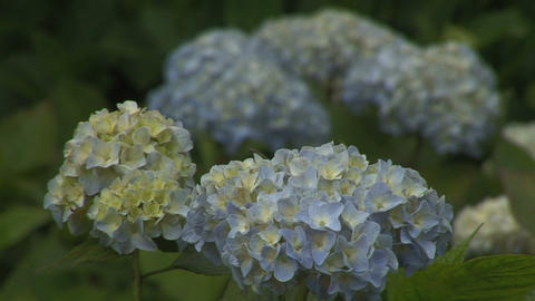 Pale blue Hydrangea Stock Video Footage