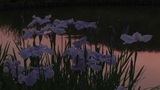 Japanese Iris stock footage