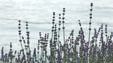 Lavender Footage