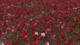 Poppy flower field Footage
