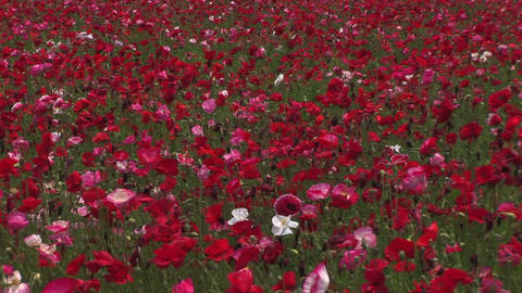 Poppy flower field Stock Video Footage