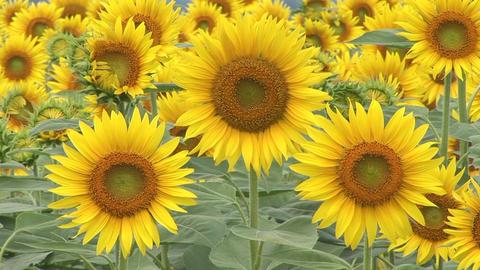Sunflowers Stock Video Footage
