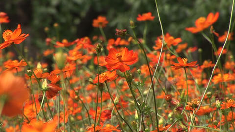 Yellow cosmos Stock Video Footage