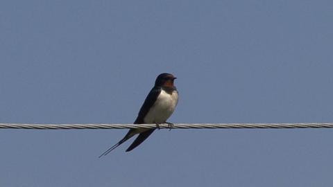 swallow on the wire Footage