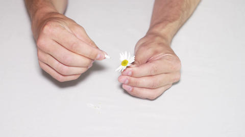 Daisy divination. Man's hands on white background Footage