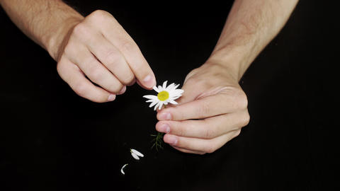 Daisy divination. Man's hands on black background Footage