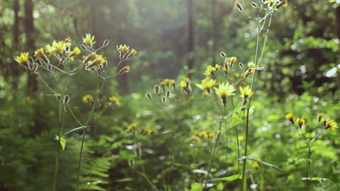 Wild forest green plants with yellow flowers wave on wind. Summer day. Close up Footage