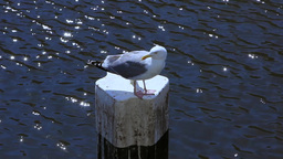 Seagull Sitting On A Pole stock footage
