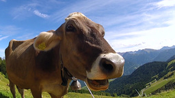 Cow On A Pasture stock footage