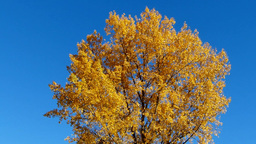 Autumn Leaves, Beautifully Colored Leaves Of A Birch In Autumn stock footage