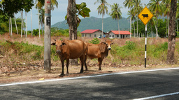 Cow and calf stand next to traffic sign - warning cows passing ahead Footage