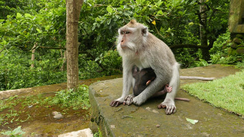 Female macaque nurse baby buried in fur, animal go away Footage