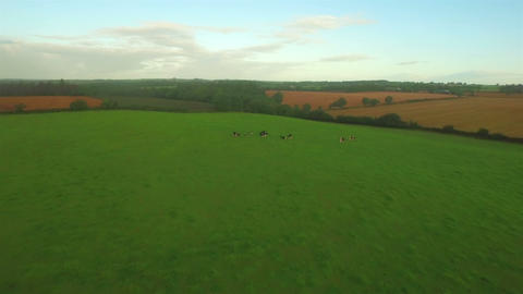 Green countryside with cows Footage