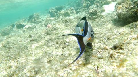 Shohal Surgeon Fish Acanthurus Sohal Footage