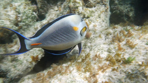 Tropical Fish Sohal Surgeonfish Acanthurus Sohal Footage