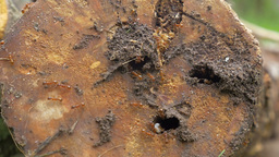 Ant Colony Living in Rotten Wood Footage