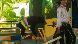 bear rides on wheel in outdoor circus in tropical park Footage
