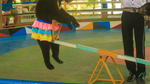 two bears rock on swing in park circus trainer gives sweets Footage