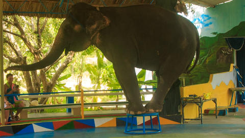 elephant stands on circus pedestal waves trunk welcomes Footage