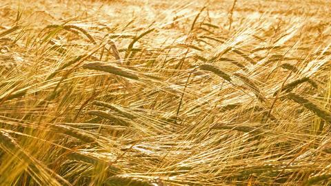 ears of ripe wheat, 4k Footage
