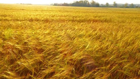 field of ripe wheat, 4k Footage