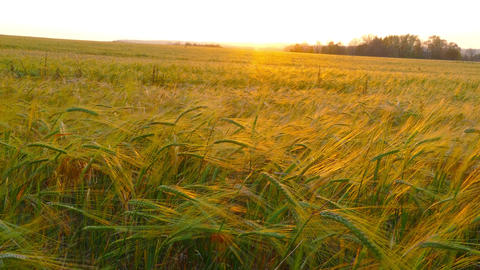 field of ripe wheat, slider dolly shot, 4k Footage
