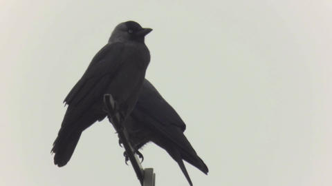 Crows sitting on a pole 65 Footage
