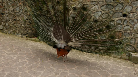 Move up by ramp to peacock prance around, courtship ritual Footage