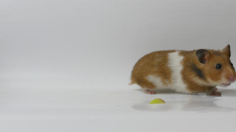 Ungraded: Golden Hamster stock footage