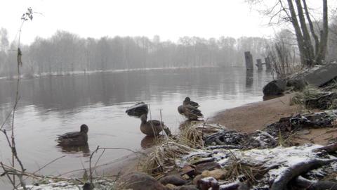 Wild ducks in winter snowfall Live Action
