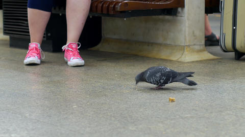 Pigeon without leg eating bread Live Action