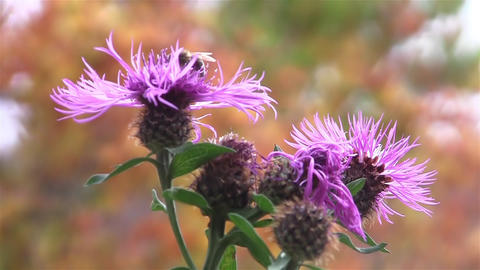 Bee pollen search of purple thistle flowers 077a Footage
