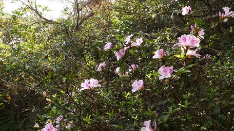 Tree blossom in backlight, sakura flowers, green leaves Footage